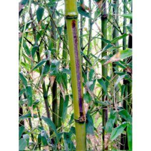 bambou Meguroshiky