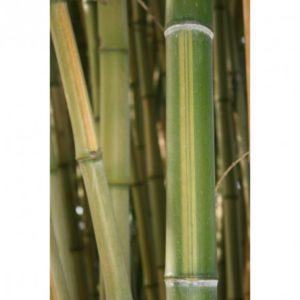 bambou Huangwenzhu