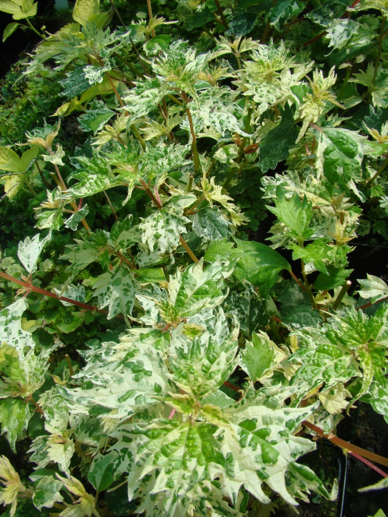 Boehmeria spicata 'splih splash' (2)