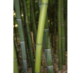 Les bambous de Créa'Paysage
