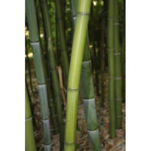 bambou iridescens